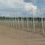 Столбики жб для шпалер  (55x75x80мм) 2 м