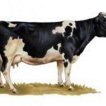 СрочноПродам корову