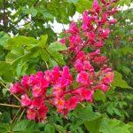 Красный каштан Aesculus carnea в Вашем саду
