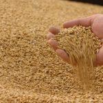 Фуражна пшениця, Чернігівска Сумська область