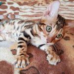 Бенгальская кошка. Бенгальские котята купить.