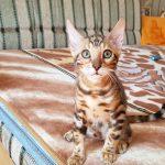 Бенгальская кошка купить.
