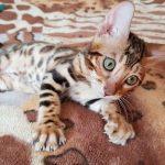 Бенгальская кошка купить Днепр.