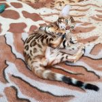 Бенгальский котенок купить Львов.