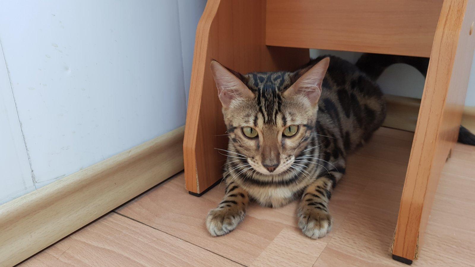 Бенгальские котята из питомника  Bengalkiev