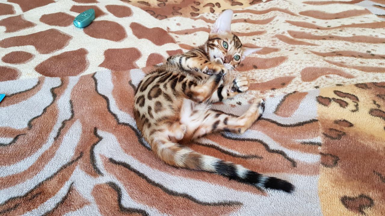 Продажа котят бенгальской породы.